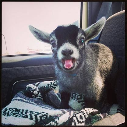 Even funnier than that awesome face is the fact that he's riding around in someone's car. I want goats!