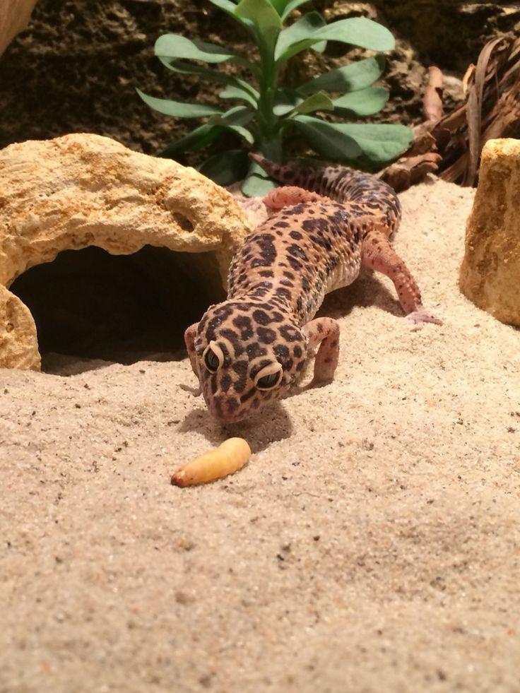 Small Animal Reptiles And Amphibian Habitats: ゲッコー, 動物, レオパ