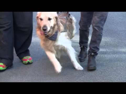 Cellule staminali del sangue - Un cane paralizzato da due anni torna a camminare - YouTube