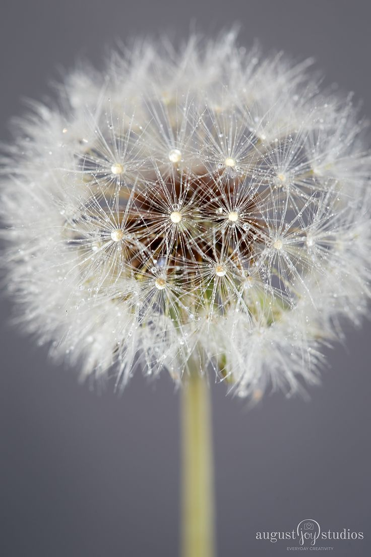 Macro photography tips for beginners using a dandelion as the subject.