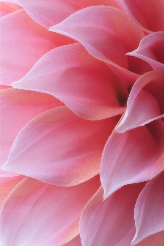 I love macro-photography.... pink flower chrysanthemum