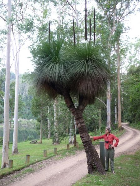 Xanthorrhoea glauca, known as the Grass Tree, is a large plant in the genus Xanthorrhoea, widespread in eastern Australia. The trunk can grow in excess of 5 metres tall, and may be many branched. It is occasionally seen in large communities in nutrient soil