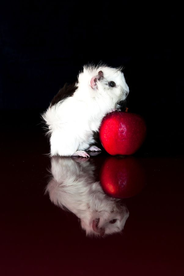 Guinea pig striking a professional pose with a very red apple