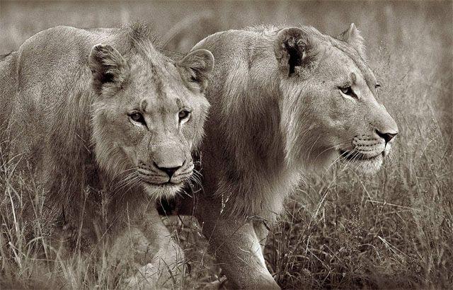 Pareja de leones jóvenes, foto de Horst Klemm.