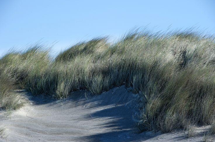 L'Ammofila arenaria è una pianta erbacea della famiglia delle Poaceae, diffusa nel bacino del Mediterraneo e sulle coste atlantiche di Francia, Spagna e Portogallo. Pur essendo originaria delle coste europee è stata introdotta negli altri continenti per stabilizzare le dune di sabbia, pertanto ora si trova sulle dune costiere di tutto il mondo. Rosignano Solvay (LI) 21/03/2013 09:31 - Nikon D700 - Nikkor 70/200mm f/2.8 ISO 200 - 1/200 sec. f/13 - #guidofrilli