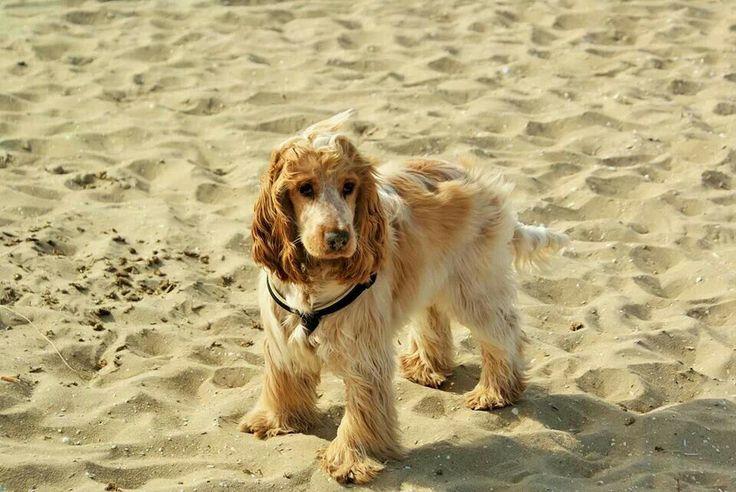 Engelse Cocker Spaniel Bliksem, 7 maanden oud op strand Noordwijk