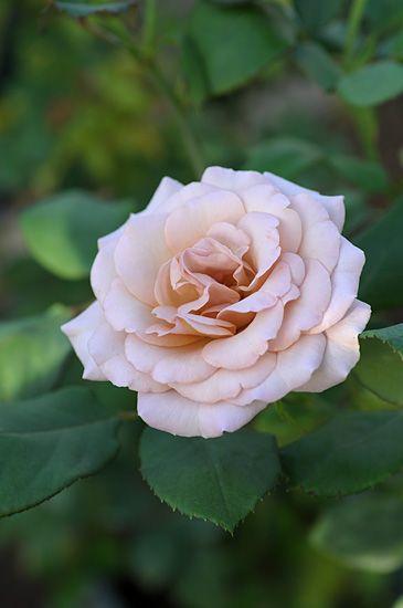 ~Floribunda Rose: Rosa 'Saudade' (Japan, before 2010)