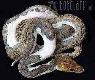 Pied Reticulated Python..... One day when I can spend 25 grand on an animal I will own one of these!!!