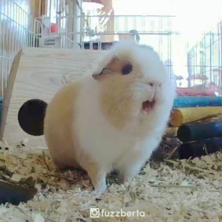 173 best Guinea Pigs images on Pinterest | Guinea pigs, Pig stuff ...