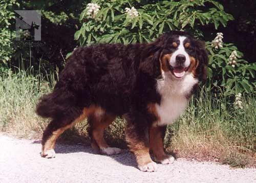 Bernese Mountain Dog - Janipan HERO OF THE DAY | from Balihara Ranch