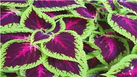 Coleus. My favorite kind of plant. Its easy to maintain even if you don't have a green thumb (like me).