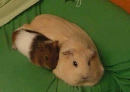 Cute guinea piggie and its mummy.