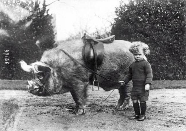 28 Weird Oddities From History... A boy stands next to his riding boar. [c. 1930's]