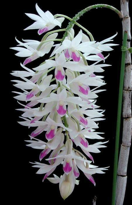Thanks to Claudia Smelko we now know that this gorgeous orchid is called Dendrobium amethystoglossum. Thanks Claudia!