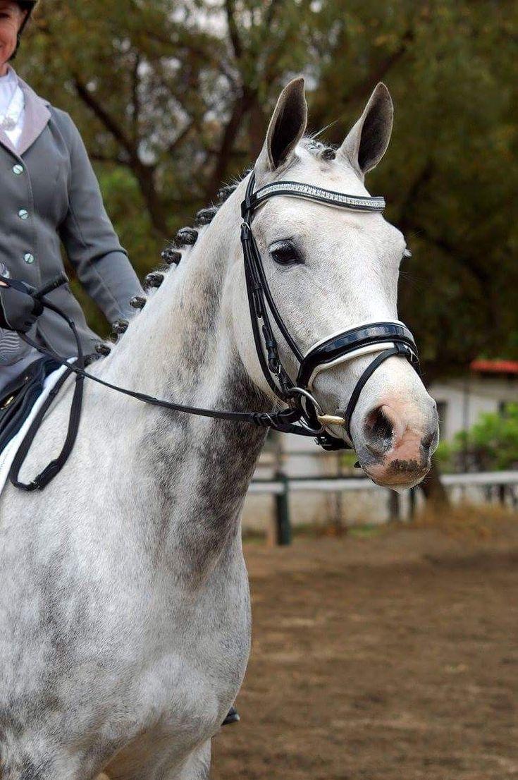 Novas Equestrian Stella bridle