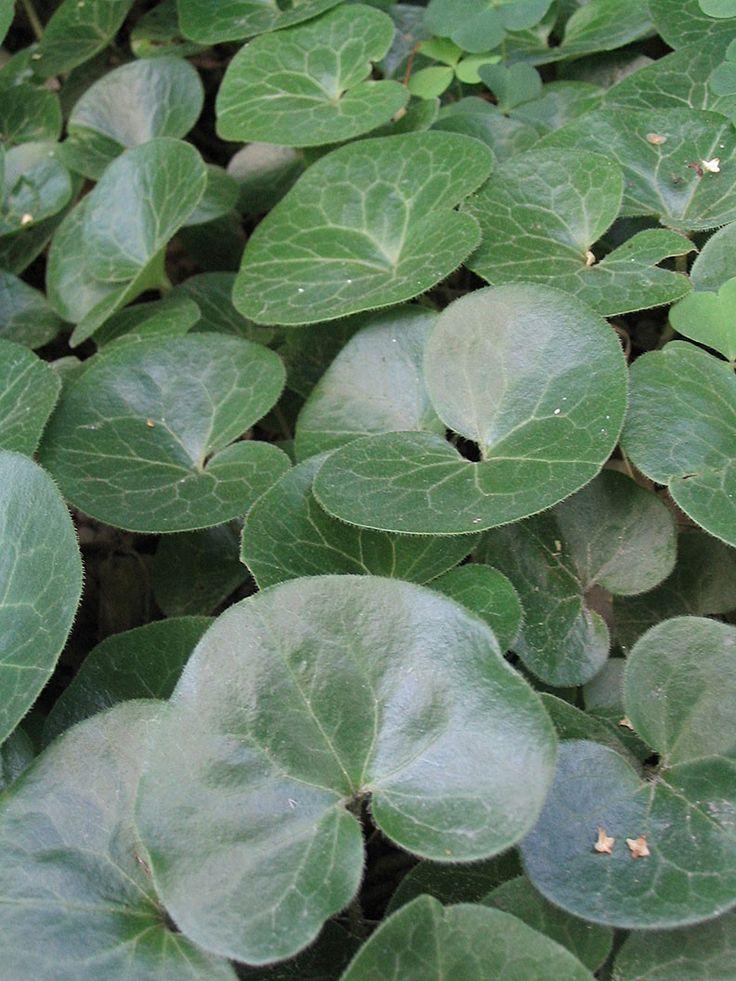 Hasselört - Perenner - Trädgårdsväxter