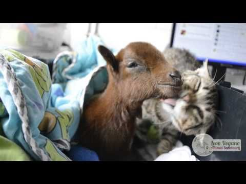 Tiny Rescued Goat Being Nursed Back to Health By Former Street Cat - Page 2 of 3 - All About Cats