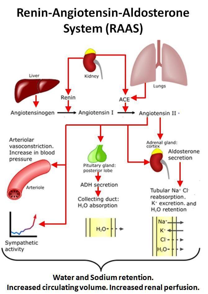 RAAS | Vasodilation - Pharmacology B with Jo De Mey at ...