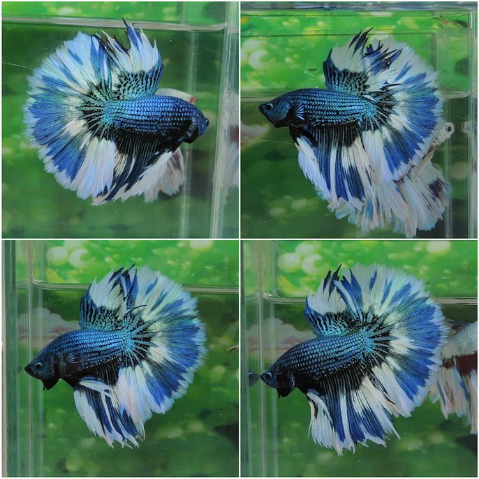 A world of gorgoues Betta Fish - Badass Betta Fish uploads gorgeous pins daily