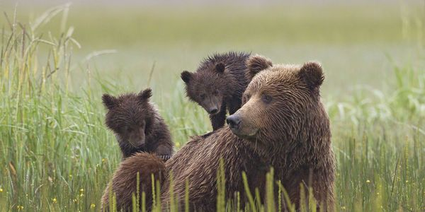 petition: Save Alaskan Wildlife, Oppose House Resolution 69!    http://www.thepetitionsite.com/en-gb/takeaction/837/154/151/    Trump #notmypresident is allowing innocent animals, babies to be killed in their dens while nursing and sleeping in their dens.    Killing innocent helpless wild animals in this manner is cowardly, senseless & inhumane!    Please share this petition to oppose Resolution 69 !!!!!!!!!