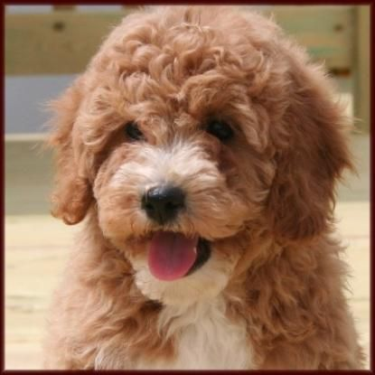 Bichon Poodle Poochon Bichpoo Puppies for Sale in Iowa