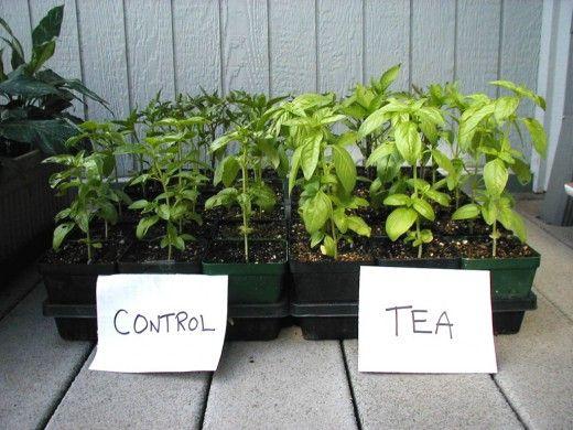 Компостный «чай» — лучшее натуральное удобрение Компостный «чай» — секрет многих лучших садоводов. Почти все мировые рекорды по выращиванию овощей-гигантов, были достигнуты с использованием этого уникального удобрения. При поливе компостным «чаем» растения начинают хорошо расти, увеличивая зеленую массу до 3 раз. Компостный «чай» — это супер-энергетик для растений. Фото: © chesapeakecompost
