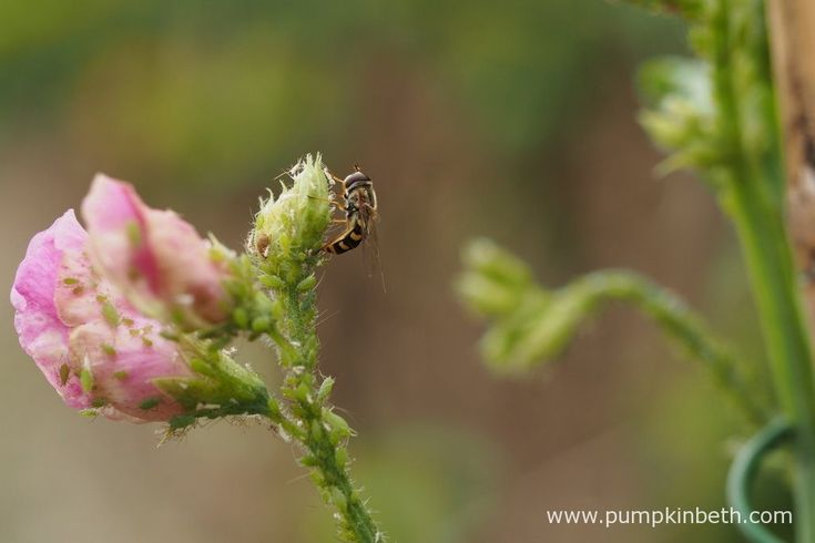 A marmalade hoverfly, also known by its scientific name of Episyrphus balteatus, laying eggs on a Lathyrus odoratus 'Misty' flower bud, that is covered by a vast colony of aphids.