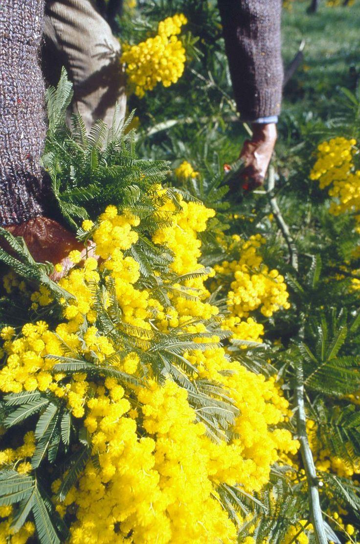 Récolte du Mimosa à Mandelieu-La Napoule