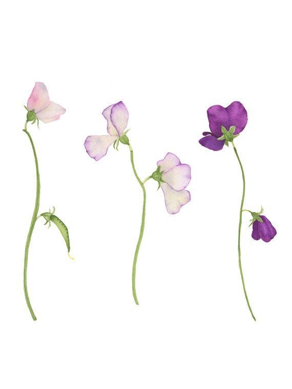 Watercolor Sweet Pea Flowers Original Botanical Painting