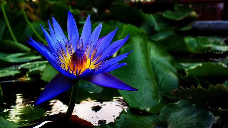Blue Water Lily (Nymphaea caerulea)  2014-05-31-1661
