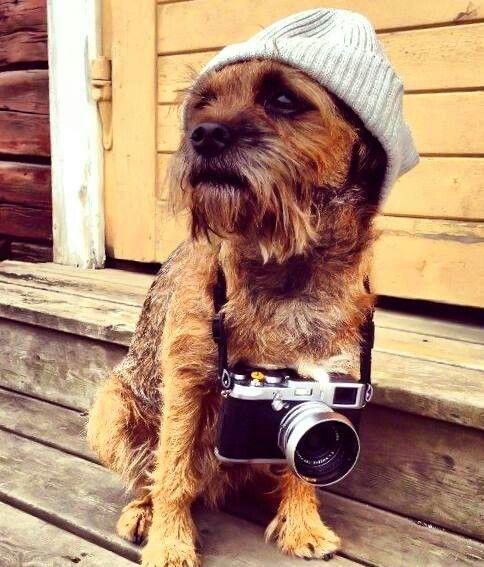 Hipster Border Terrier