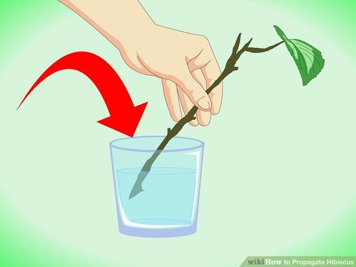 Propagate Hibiscus Step 4