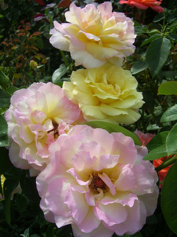 rose 39 gloria dei 39 just roses pinterest flower