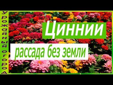 РАССАДА ЦИННИИ БЕЗ ЗЕМЛИ! - YouTube