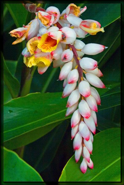Ginger flower - Available for Scottish brides in February. Contact The Stockbridge Flower Company for more details.