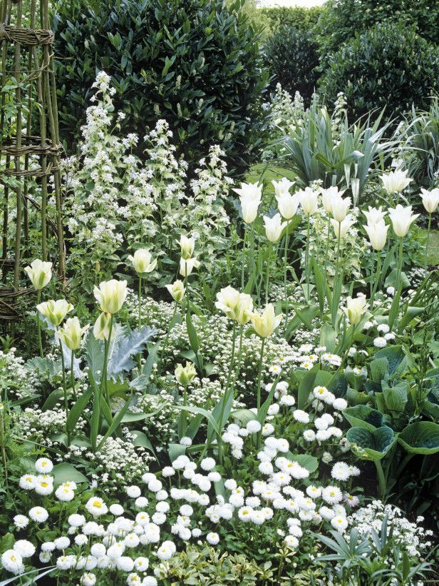 white forget-me-nots, tulips, daisies, and hosta in an all-white garden