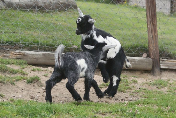 baby goats playing and...