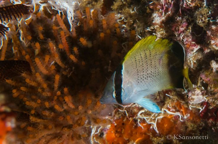 Beautiful use of macro on this little reef fish, by our underwater photography intern, Kristen Sansonetti.