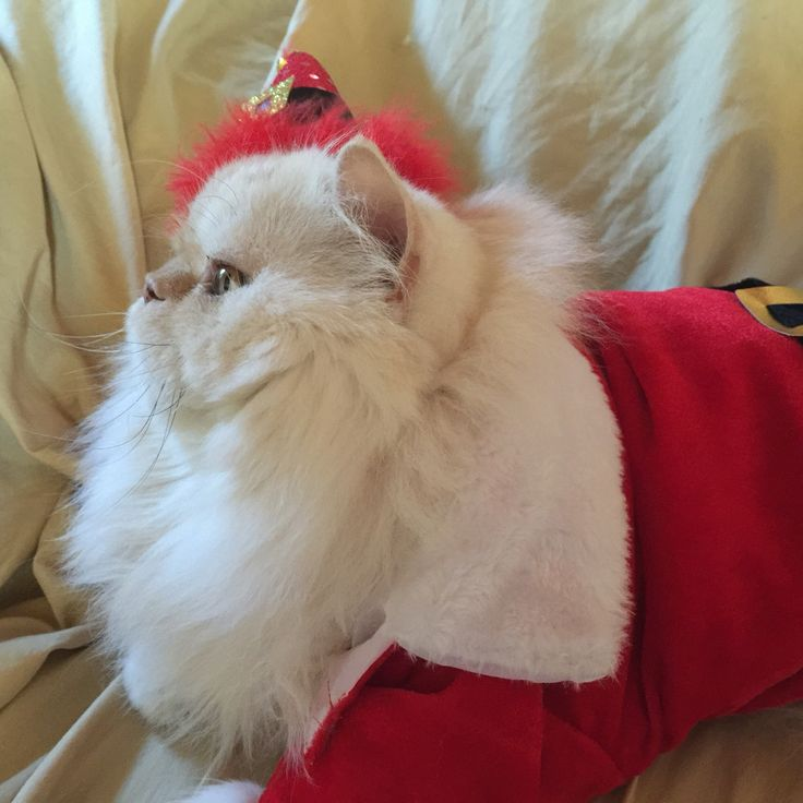 Marble the Pirate Kitty as Santa Claws