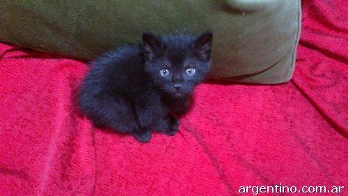 Gato Angora Negro azabache