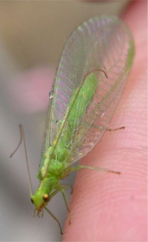 114 best images about Luscious Lacewings on Pinterest ...