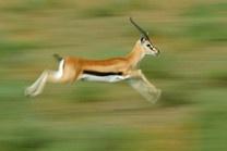 Gazelles in the Serengeti ...  http://www.serengeti-wildlife.com/gazellen-gazelles/  @ by Uwe Skrzypczak  #wildlife #animals #africa #serengeti #canon