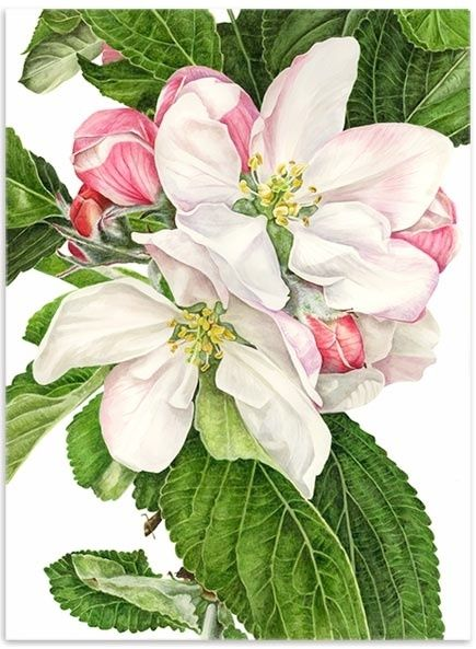 Anna Knights - contemporary botanical paintings - botanical art - original watercolours - flower paintings - fruit paintings - vegetable paintings - limited edition giclee prints - greetings cards: Watercolor, Botanical Illustration, Art Flowers, Anna Kni