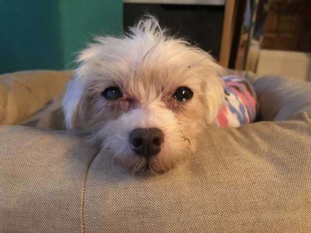 Abandoned Senior Maltese Dog Slowly Recovers From Years Of Neglect
