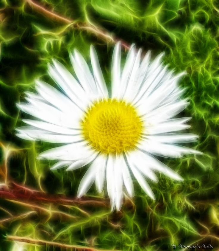 A flickering little daisy by Giancarlo Gallo