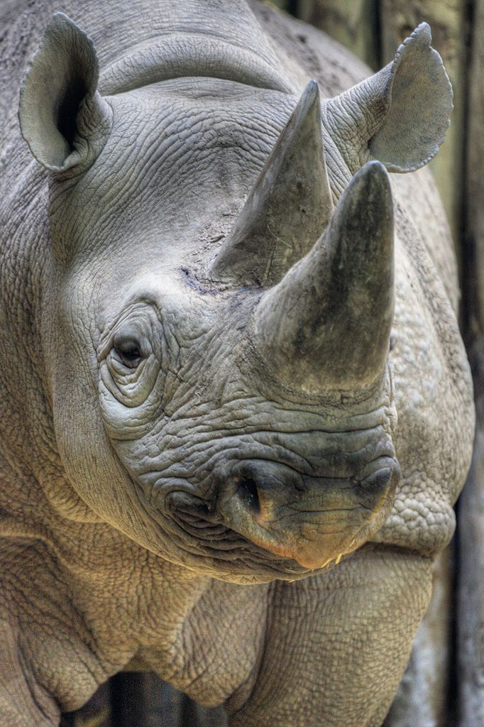 White Rhino http://www.LittleBrookPaper.com. Only 7 left in this whole world and the Black Rhino is next due to the ground up horns that the Asians think will make them better lovers.