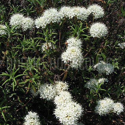 image de Ledum groenlandicum