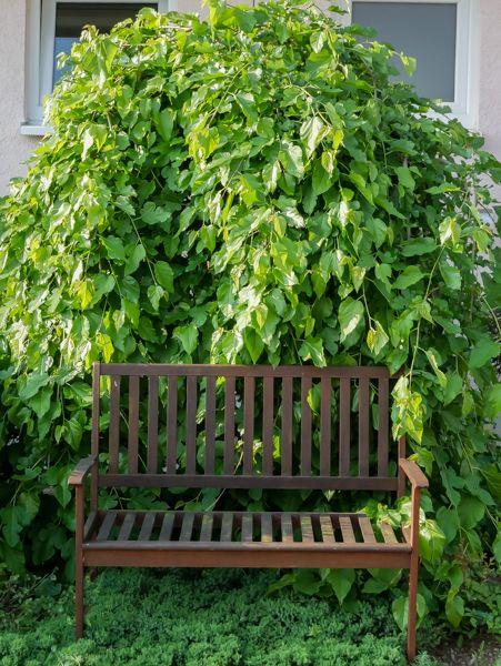 Maulbeerbaum kaufen