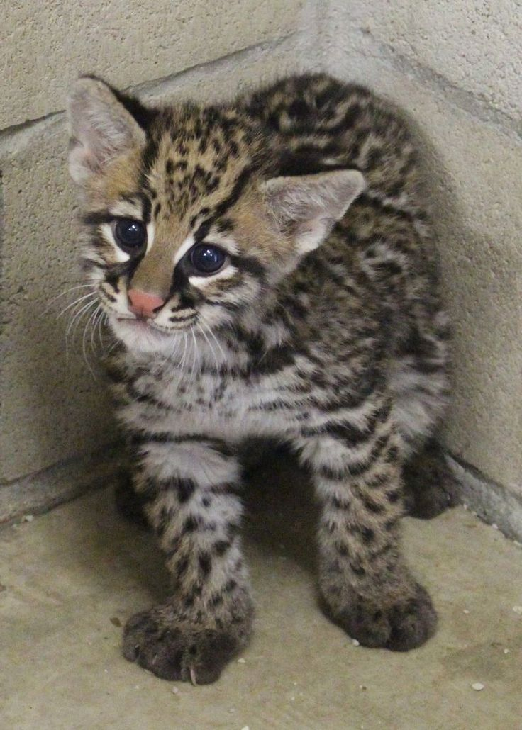 """Since 2010, three Brazilian Ocelot kittens (females """"Milagre,"""" """"Ayla,"""" and """"Revy"""") have been produced using artificial insemination (AI) techniques developed and performed by scientists from the Cincinnati Zoo's Center for Conservation & Research of Endangered Wildlife (CREW)"""