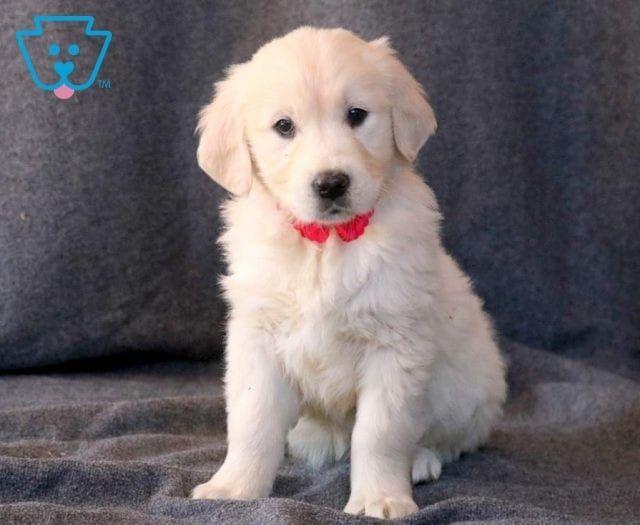 Pin By Pam Williams On Animals Golden Retriever Puppy Adoption